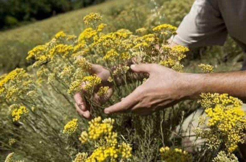 Бессмертник: трава - лечебные свойства и противопоказания