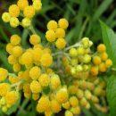 Бессмертник: трава — лечебные свойства и противопоказания